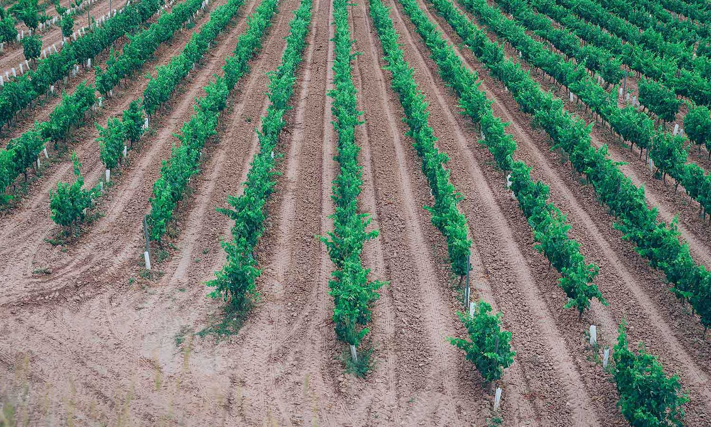 El viñedo de Vermut San Bernabé