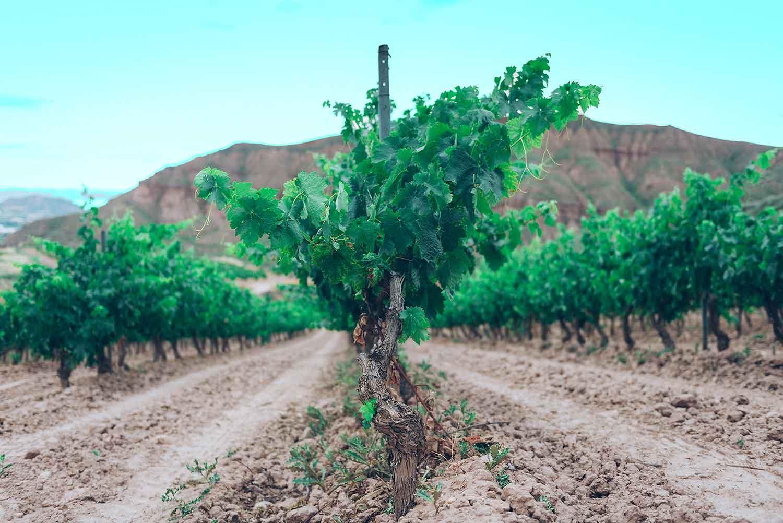 Viticultura respetuosa con en medio ambiente en viñedos en vaso