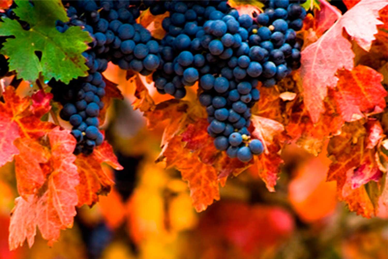 Elaborado con uva tinta de las variedades tempranillo y garnacha